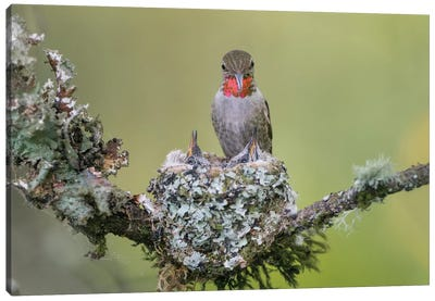 WA. Anna's Hummingbird (Calypte anna) female feeding two chicks at nest in Marymoor Park, Redmond. Canvas Art Print