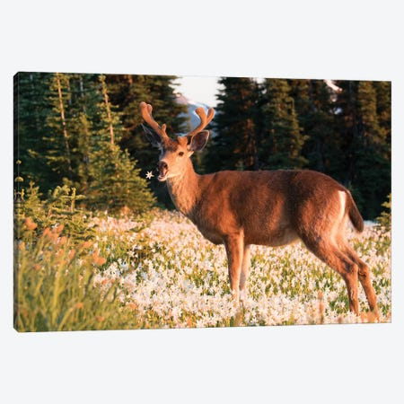 WA. Black-tailed deer, a buck in velvet, eating Avalanche Lily in a subalpine meadow at Olympic NP. Canvas Print #GLU36} by Gary Luhm Canvas Artwork