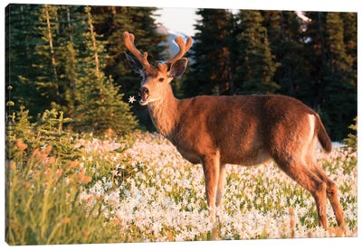 WA. Black-tailed deer, a buck in velvet, eating Avalanche Lily in a subalpine meadow at Olympic NP. Canvas Art Print