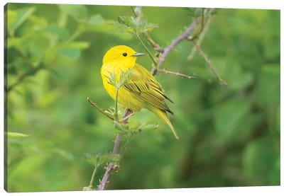 WA. Breeding plumage male Yellow Warbler (Dendroica petechia) on a perch at Marymoor Park, Redmond. Canvas Art Print