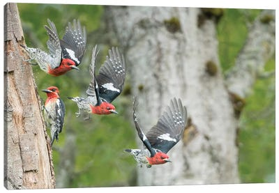 WA. Multiple images of a Red-breasted Sapsucker flying from nest in a red alder snag Canvas Art Print
