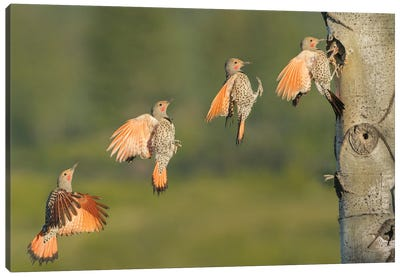 Canada, British Columbia. Northern Flicker flies to nest hole. Canvas Art Print