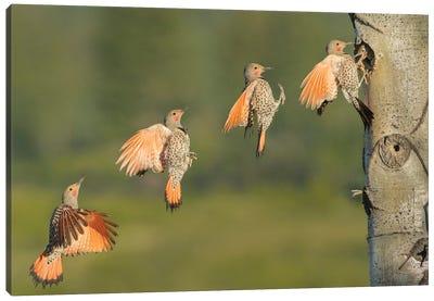 Canada, British Columbia. Northern Flicker flies to nest hole. Canvas Art Print