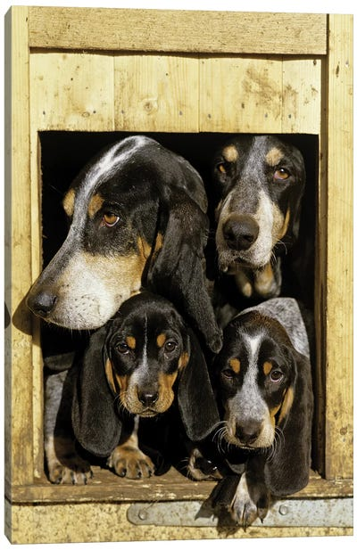 Basset Bleu de Gascogne, Adults With Puppies, At Kennel Entrance, France Canvas Art Print