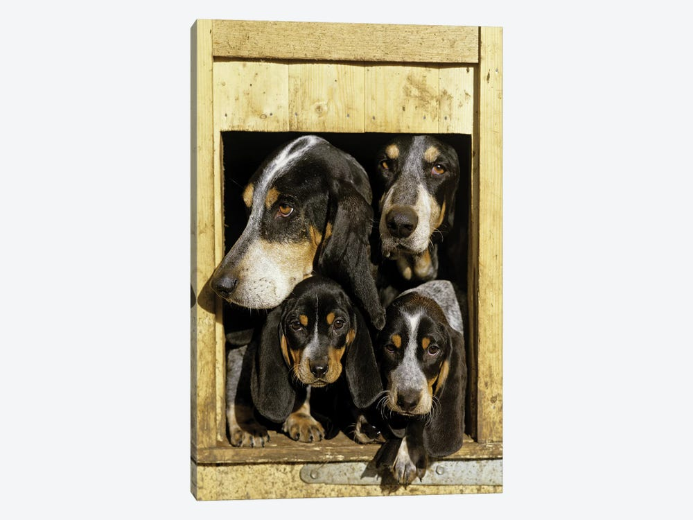Basset Bleu de Gascogne, Adults With Puppies, At Kennel Entrance, France by Gerard Lacz 1-piece Canvas Art