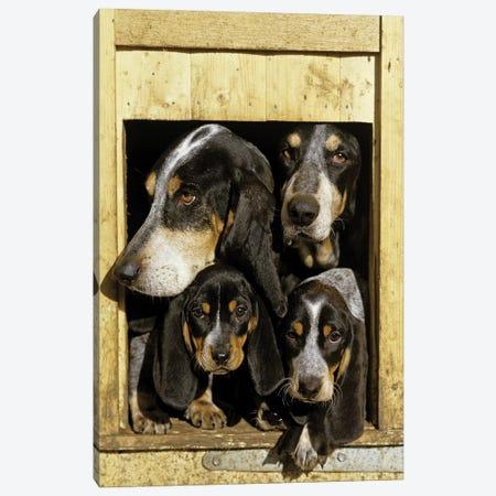 Basset Bleu de Gascogne, Adults With Puppies, At Kennel Entrance, France Canvas Print #GLZ1} by Gerard Lacz Art Print