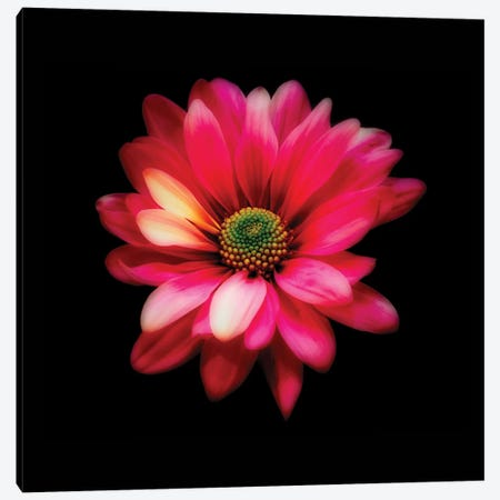Luminous Red Daisy Canvas Print #GOZ124} by George Oze Art Print