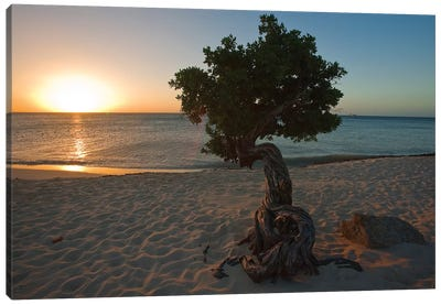 Beach Sunset with a Fofoti Tree, Aruba, Dutch Antilles Canvas Art Print