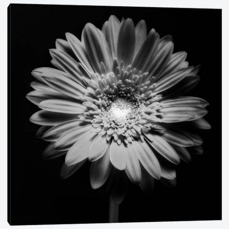 Red Gerbera Flower in Black and White Canvas Print #GOZ165} by George Oze Art Print