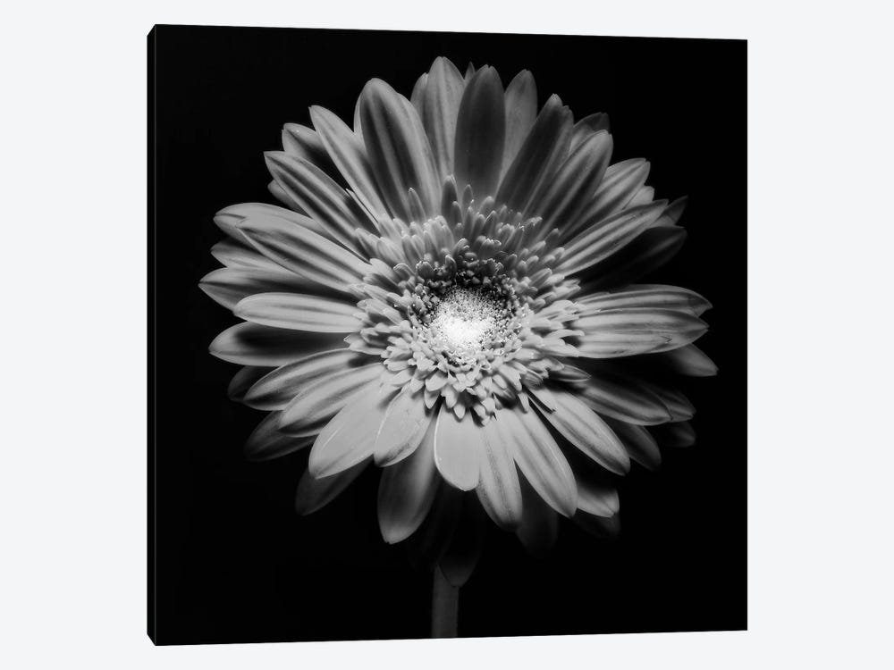 Red Gerbera Flower in Black and White by George Oze 1-piece Canvas Art Print