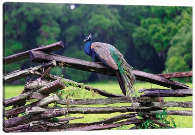 A Male Indian Peacock Resting on a Wooden Fence, Magnolia Panatation, Charleston, South Carolina Canvas Art Print