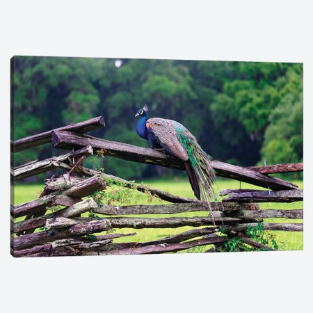 A Male Indian Peacock Resting on a Wooden Fence, Magnolia Panatation, Charleston, South Carolina Canvas Print #GOZ1} by George Oze Canvas Artwork