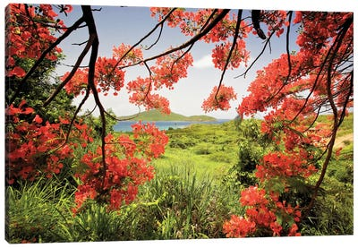 Tamarind Bay View Through a Flamboyan Tree, Culebra Island, Puerto Rico Canvas Art Print