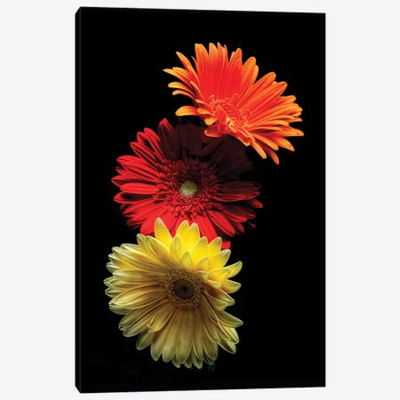 Three Luminous Daises Against Black Background Canvas Print #GOZ207} by George Oze Canvas Art