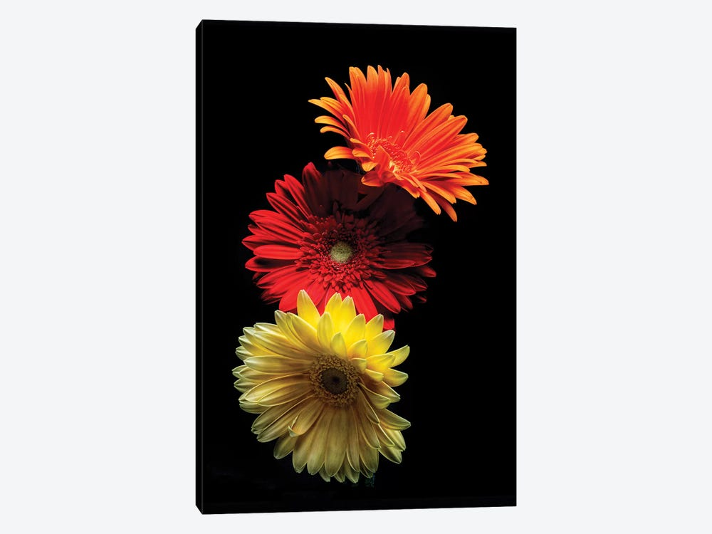 Three Luminous Daises Against Black Background by George Oze 1-piece Canvas Art Print