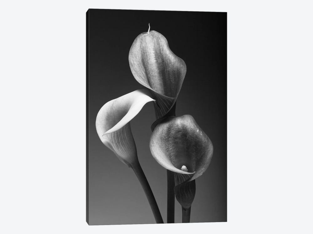 Three Pink Calla Lilies in Black and White by George Oze 1-piece Canvas Artwork