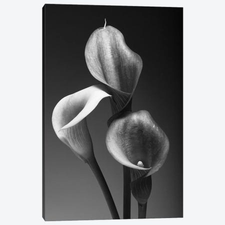 Three Pink Calla Lilies in Black and White Canvas Print #GOZ208} by George Oze Canvas Art Print