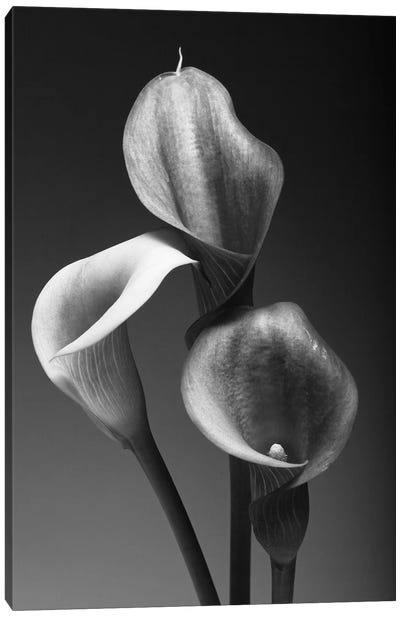 Three Pink Calla Lilies in Black and White Canvas Art Print