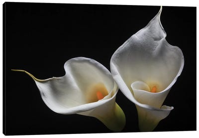 Two Calla Lilies Canvas Art Print