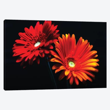 Two Luminous Daises Against Black Background Canvas Print #GOZ215} by George Oze Canvas Print