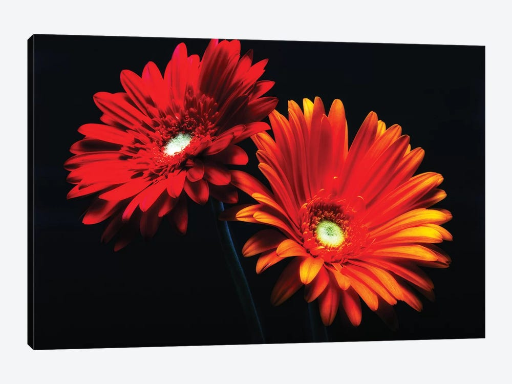 Two Luminous Daises Against Black Background by George Oze 1-piece Canvas Artwork