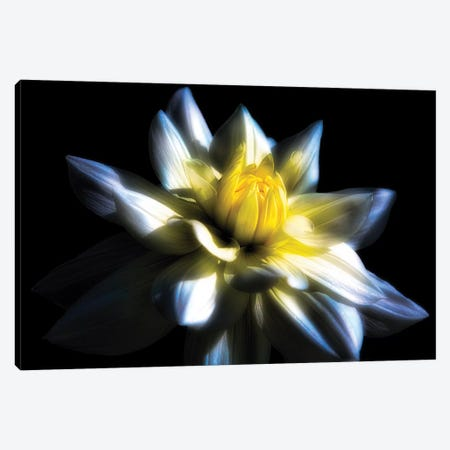 Waterlily Dahlia on Black Backround Canvas Print #GOZ237} by George Oze Canvas Print