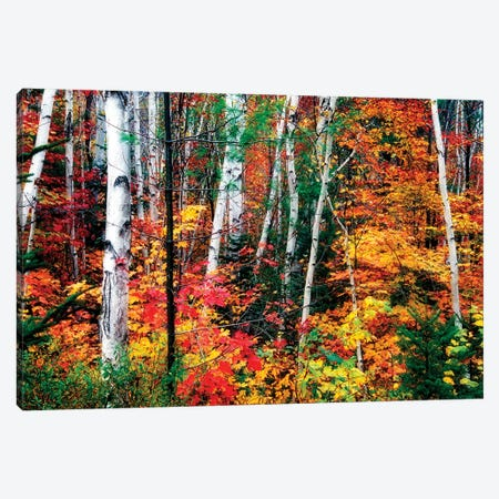 White Bark. Colorful Leaves, New Hampshire Canvas Print #GOZ238} by George Oze Canvas Artwork
