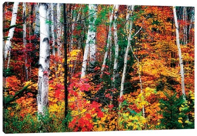 White Bark. Colorful Leaves, New Hampshire Canvas Art Print