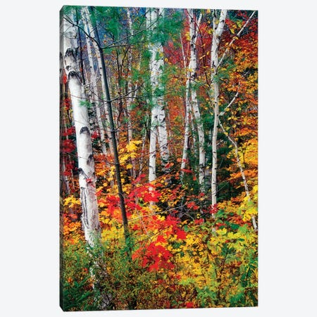 White Barks and Colorful Leaves, White Mountains,New Hampshire Canvas Print #GOZ239} by George Oze Canvas Artwork