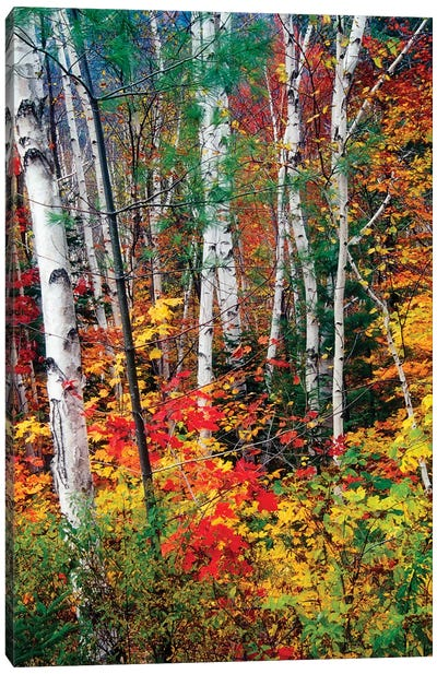 White Barks and Colorful Leaves, White Mountains,New Hampshire Canvas Art Print