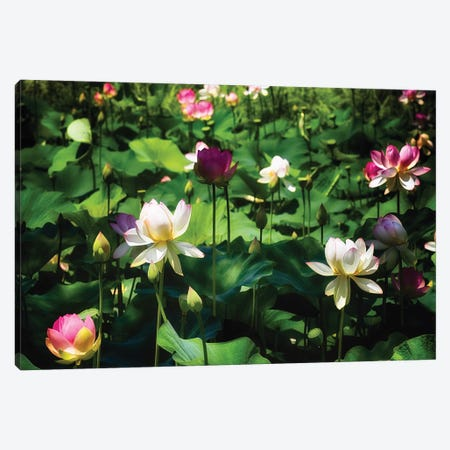 Blooming Lotus Flowers Canvas Print #GOZ246} by George Oze Canvas Art