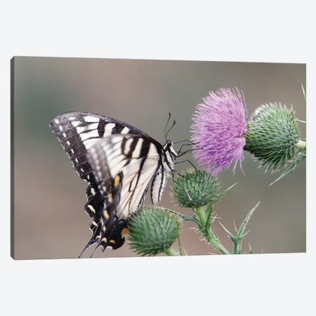 Butterfly Feeding on Thistle Canvas Print #GOZ25} by George Oze Canvas Artwork
