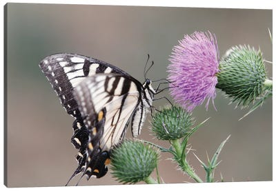 Butterfly Feeding on Thistle Canvas Art Print