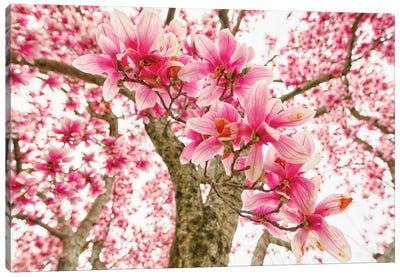 Pink Magnolia Tree Bloom Canvas Art Print