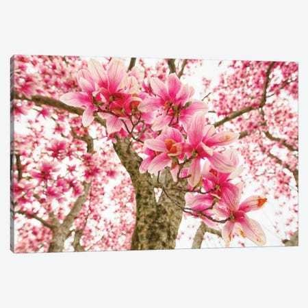 Pink Magnolia Tree Bloom Canvas Print #GOZ273} by George Oze Canvas Art