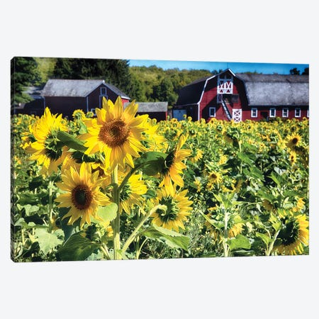 Sunflowers Field With A Red Barn, New Jersey Canvas Print #GOZ297} by George Oze Canvas Print
