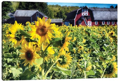 Sunflowers Field With A Red Barn, New Jersey Canvas Art Print