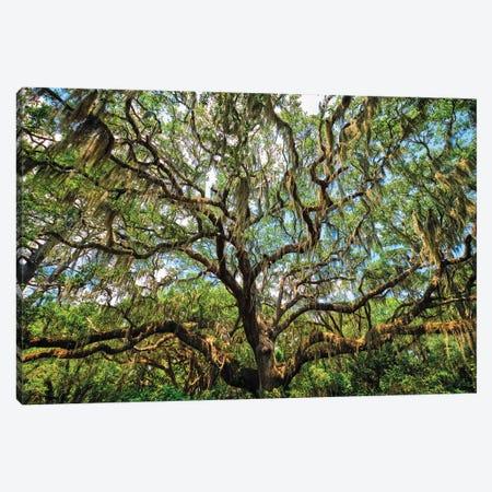 Live Oak Tree Canopy With Spanish Moss, Charleston, South Carolina Canvas Print #GOZ413} by George Oze Canvas Artwork