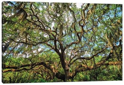 Live Oak Tree Canopy With Spanish Moss, Charleston, South Carolina Canvas Art Print
