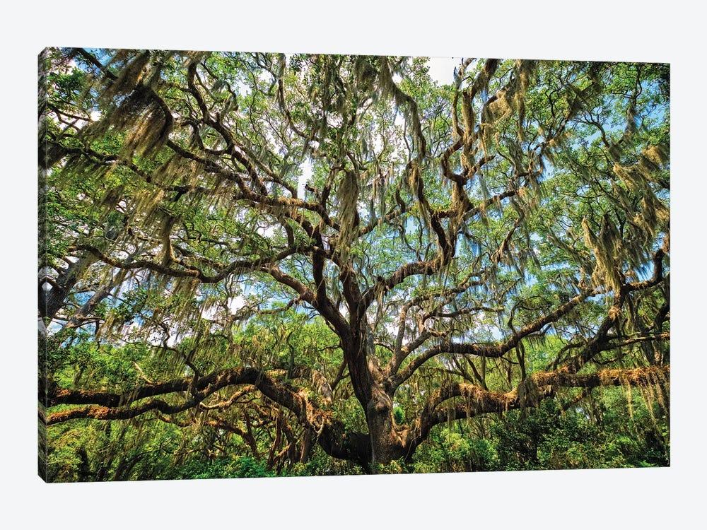 Live Oak Tree Canopy With Spanish Moss, Charleston, South Carolina by George Oze 1-piece Canvas Wall Art