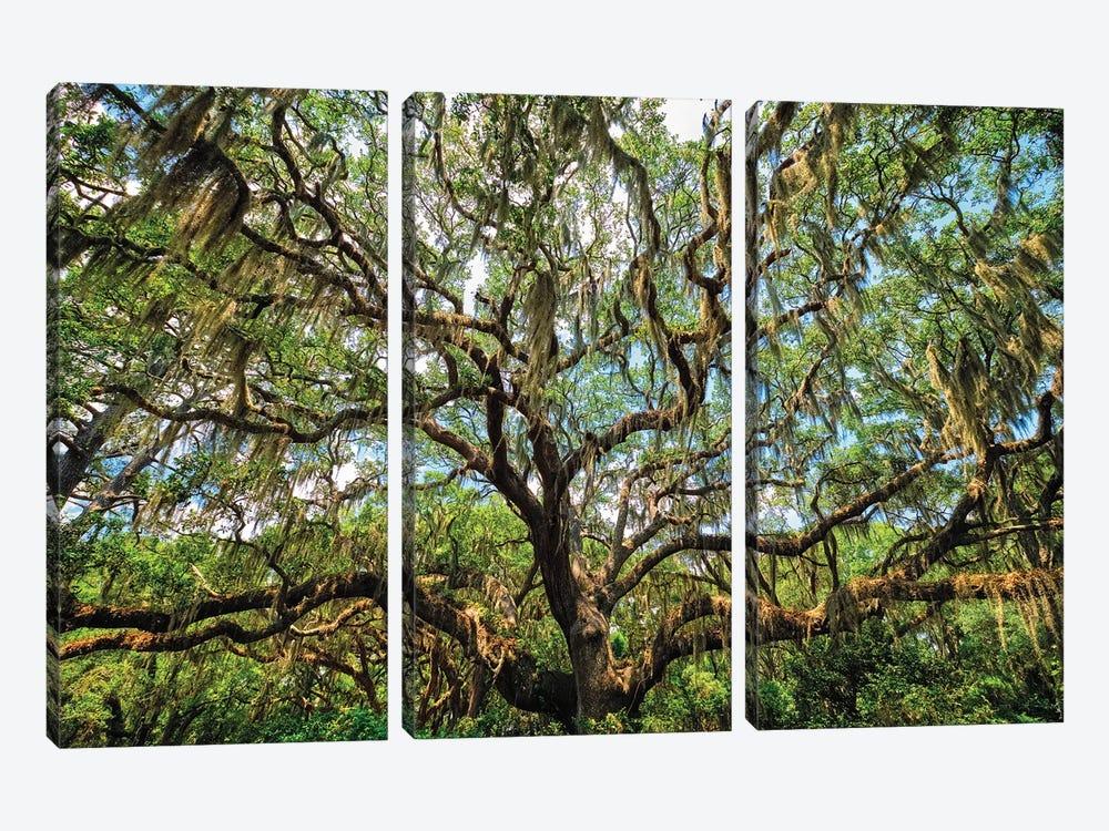 Live Oak Tree Canopy With Spanish Moss, Charleston, South Carolina by George Oze 3-piece Canvas Artwork