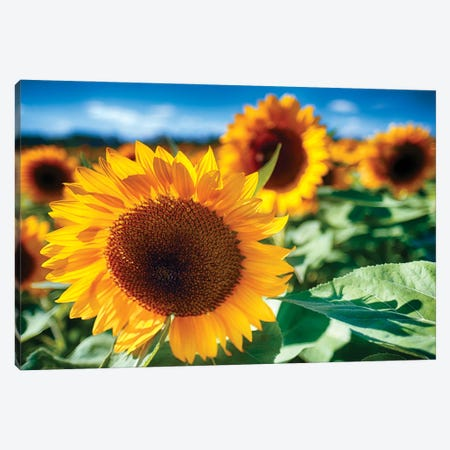 Sunflower Close Up In A Field Canvas Print #GOZ425} by George Oze Canvas Artwork