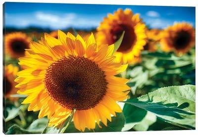 Sunflower Close Up In A Field Canvas Art Print