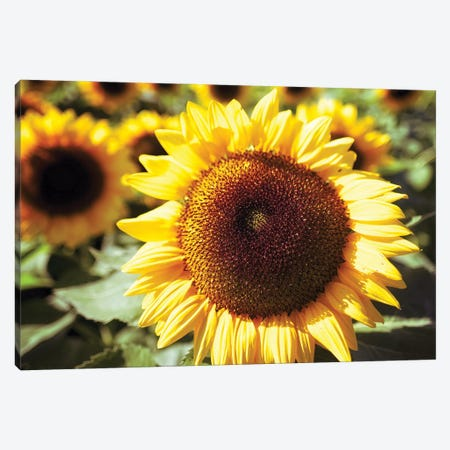 Sunflower Head Close Up Ina Field Of Sunflowers Canvas Print #GOZ426} by George Oze Canvas Art