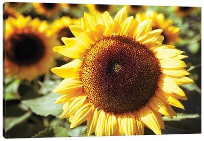 Sunflower Head Close Up Ina Field Of Sunflowers Canvas Art Print