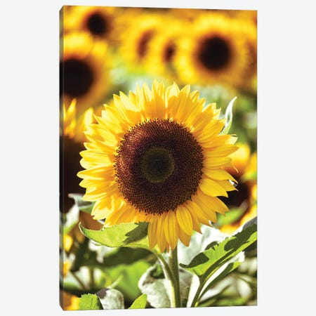 Sunflower Close Up In A Field Of Sunflowers Canvas Print #GOZ427} by George Oze Canvas Wall Art
