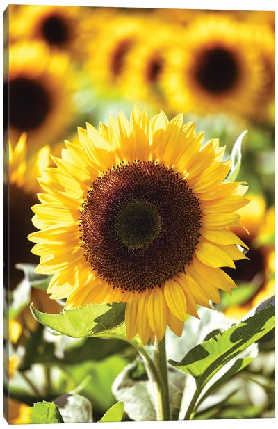 Sunflower Close Up In A Field Of Sunflowers Canvas Art Print