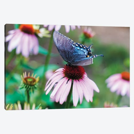Black Swallowtail Butterfly Sucking Nectar From A Cornflower Canvas Print #GOZ428} by George Oze Art Print