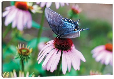 Black Swallowtail Butterfly Sucking Nectar From A Cornflower Canvas Art Print