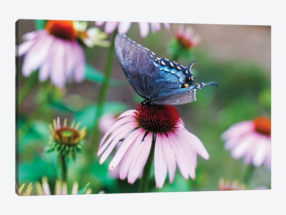 Black Swallowtail Butterfly Sucking Nectar From A Cornflower by George Oze 1-piece Canvas Art